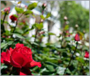 White House's historic Rose Garden to be restored