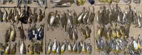 Hundreds of bird dead from colliding into buildings