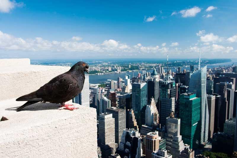 bigstock-The-pigeon-11778977