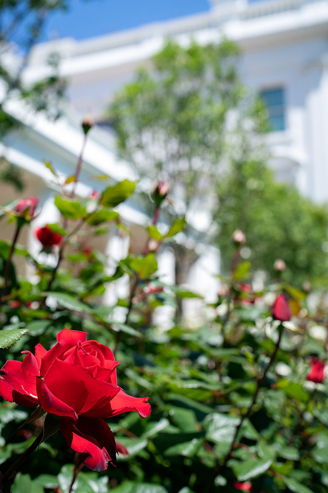 White House S Historic Rose Garden To Be Restored And Enhanced Construction Specifier